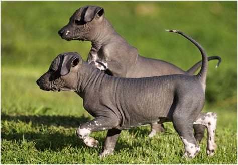 mexican hairless dog information dog breeds  newpetowners
