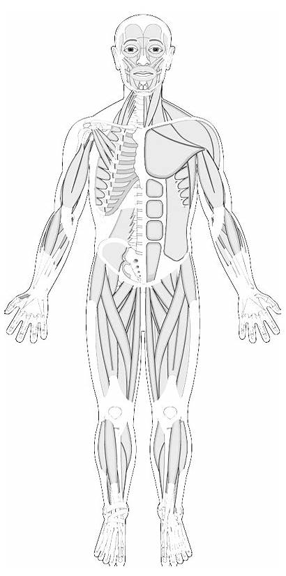 Anatomy Muscle Muscles Human Coloring Muscular System