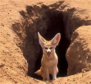 World Animal Beauti And Funny: Fennec Fox
