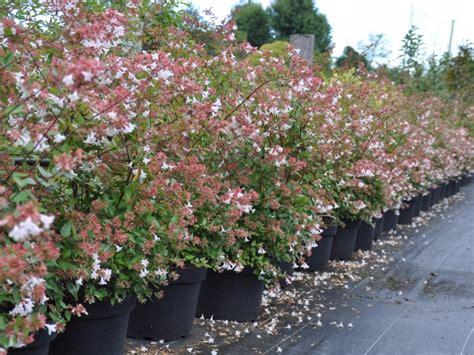 arbustes à fleurs haie de 15 arbustes fleuris vari 233 s caducs et persistants