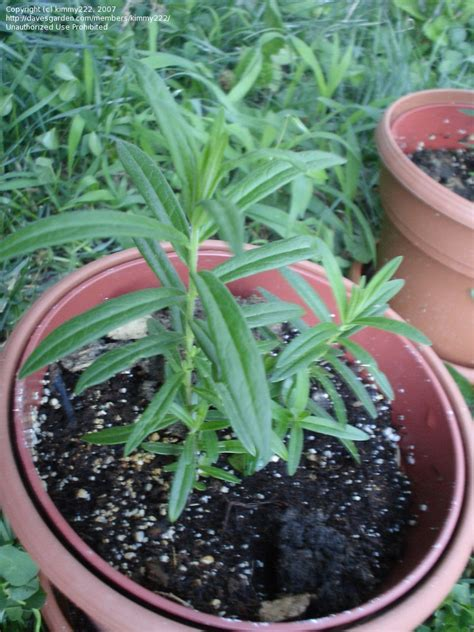 plantfiles pictures butterfly milkweed butterfly weed