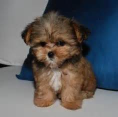 1000 images about our shorkie puppies on pinterest more