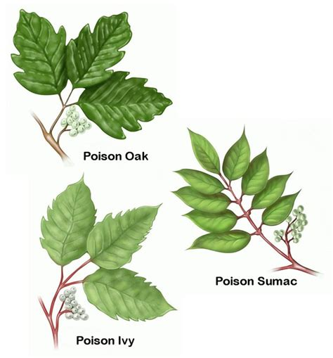 poison oak essential oil poison ivy relief oh happy daze