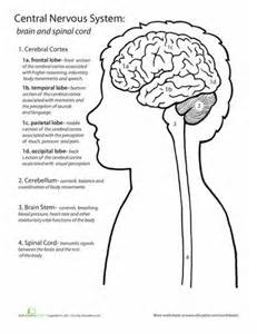 Brain and Nervous System Worksheet