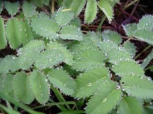 Blätter Werden Braun Und Trocken : gro er wiesenknopf sanguisorba officinalis ~ Orissabook.com Haus und Dekorationen