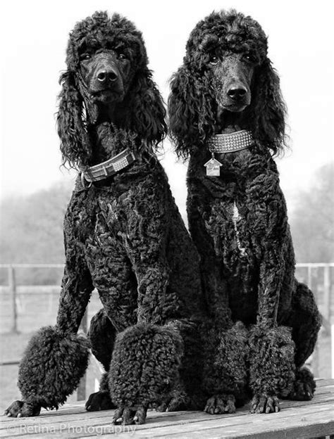 Two amazing standard poodles with very pimped out collars