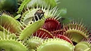Venusfliegenfalle Pflege Haltung : die venusfliegenfalle kann kann z hlen ~ Watch28wear.com Haus und Dekorationen