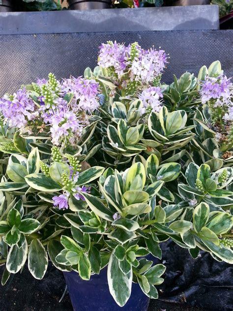 panachee en pot fleurs v 233 ronique panach 233 e