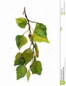 Branche De Bouleau : branche fra che verte de bouleau aquarelle illustration ~ Melissatoandfro.com Idées de Décoration