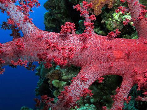 filea strikingly pretty red dendronephthya  elphinstone
