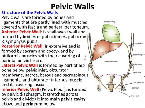 Muscles Of The Pelvic Floor Ppt by Ppt Pelvic Walls Powerpoint Presentation Id 3130183