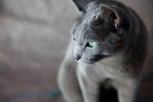 russian blue cat personality russian blue cat personality