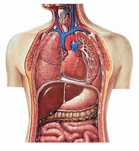Menselijk lichaam organen buik