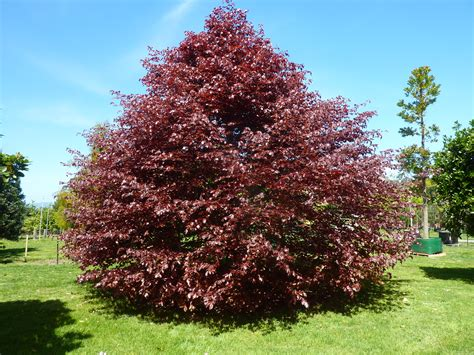 Fagus Sylvatica Purpurea  Copper Beech  Tauranga Tree Co
