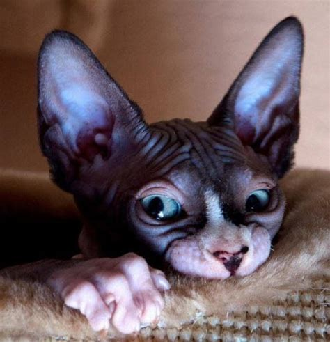 163 Best Ideas About Sphynx On Pinterest  Cats, Aliens