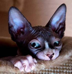 163 best ideas about Sphynx on Pinterest | Cats, Aliens ...