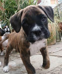 stunning boxer puppy crawley