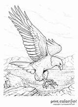 Coloring Pages Rush Gold Memorial California Adult Colouring Drawing Sheets Eagle Drawings Adults Older Sketches Bald Books Getdrawings Printable Bird sketch template