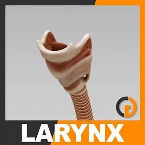 Human Larynx - Anatomy 3D Model .max .obj .3ds .fbx .c4d ...