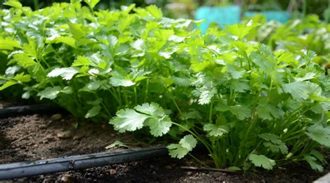 How To Grow Coriander  Latia Agribusiness Solutions
