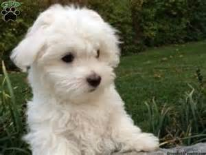 Low Shed Dogs Breeds by Maltipoo Puppies For Sale Uk Only Dog Breeds Picture