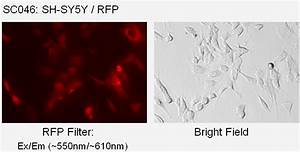 Sh  Rfp  Puromycin  Stable Cell Line