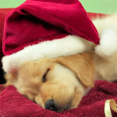 Just tap a confirmation button, and get instant results. Christmas Puppies Wallpapers Free - WallpaperSafari
