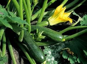 Schnittgut Alles Aus Dem Garten : zucchini anbauen beliebtes gem se aus dem eigenen garten gem segarten und kr uter garten ~ Buech-reservation.com Haus und Dekorationen