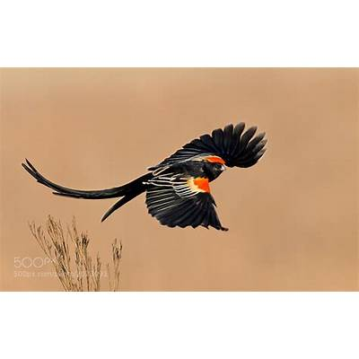 Photograph Long-tailed Widowbird by Hendri Venter on 500px