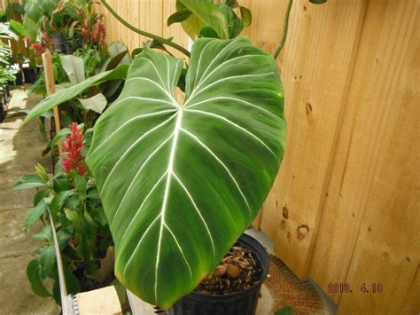 tropical plants with large leaves tropical plant big leaves images