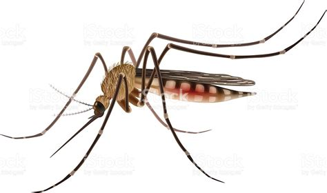 Mosquito Clip Mosquito Clipart Vector Pencil And In Color Mosquito