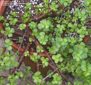 PlantFiles Pictures: Elephant Bush, Elephant Food ...