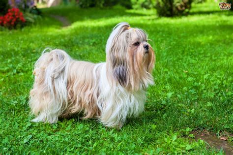 Shih Tzu Dog Breed Information Buying Advice Photos And