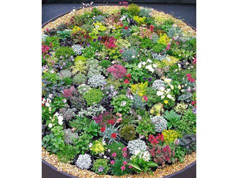 steingarten stauden mix  pflanzen winterhart lidl