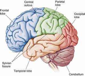 Structure And Function Of Brain