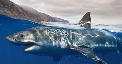 Shark 4k Wallpapers Ultra Water Backgrounds Wallpaperaccess