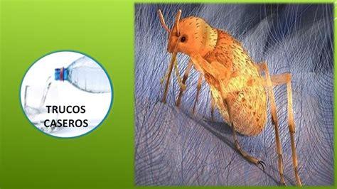 como eliminar las pulgas en casa remedios caseros contra