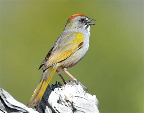 9 best images about rare birds in oregon on pinterest