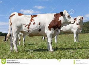 Red And White Holstein Dairy Cow Profile View In A Pasture ...