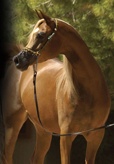 horse arabian history chest horses bay brown grey chestnut short colors magazine prominent broad strong eye