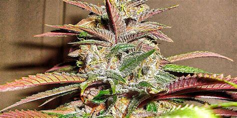Pink 2.0 (Exotic Genetix) :: Cannabis Strain Info