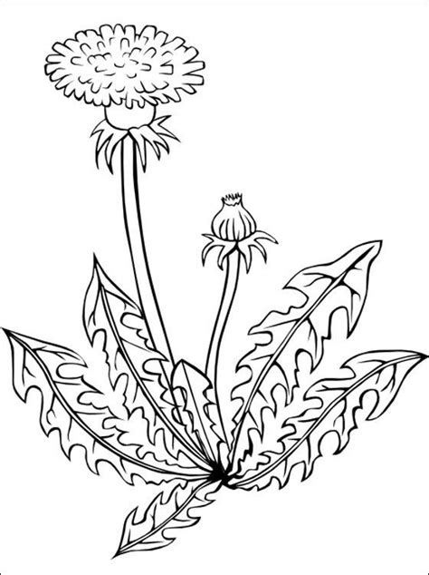 dandelion coloring page coloring pages coloring