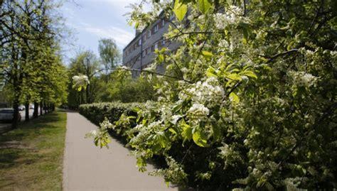 Rīgā sācies ievu ziedonis - DELFI