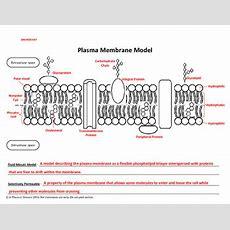 Cut & Paste Plasma Membrane Model By Athomic Science Tpt