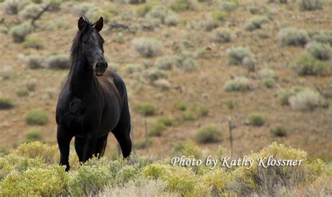 wild mustangs horses carson city
