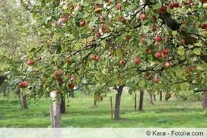 Wann Apfelbaum Pflanzen : apfelbaum pflanzen wann welchen und wie ~ Lizthompson.info Haus und Dekorationen