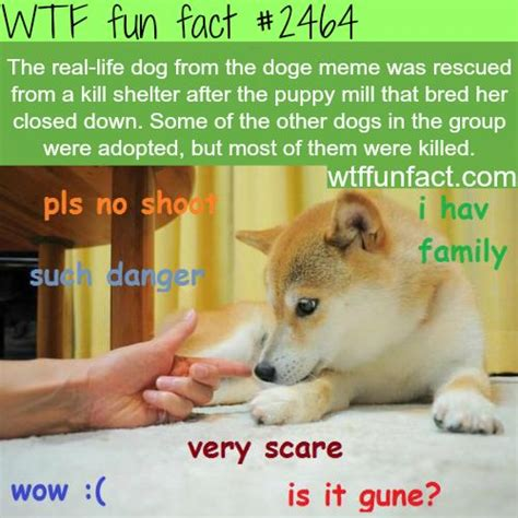 Doge Dog Meme - the real life dog from the doge meme wtf fun facts facts pinterest wtf fun facts true