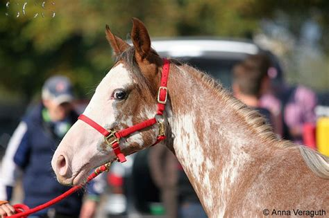 eye horses eyes horse partial ch special dark arabian had shows colour mutation line galore type partially