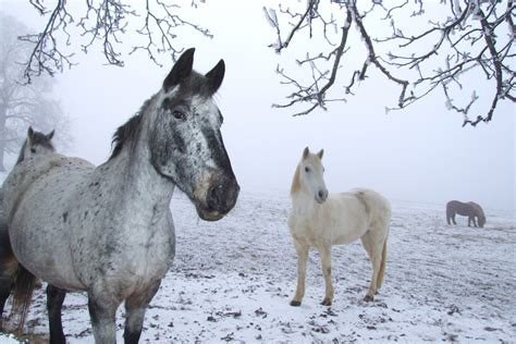 winter horses horse thinking snow weather file animal animals commons prep tips tail mane cold wikimedia ready another cooler casie