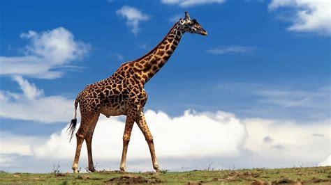 animals nature giraffes wallpapers hd desktop